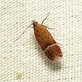 Gelechiid Moth (37032693273).jpg