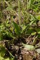 Gemuenden Ehringshausen Feldatal Hieracium aurantiacum bl.png