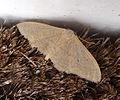 Geometridae. Sterrhinae. Idaeini .Idaea straminata. Plain Wave (6672444889).jpg