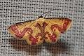 Geometridae (15163833295).jpg