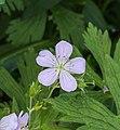 Geranium cultivar lila. actm 01.jpg