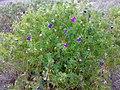 Geranium sanguineum 02.jpg