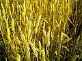 Getreide - panoramio (2).jpg