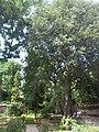 Giardino botanico di Brera (Milan 28.jpg