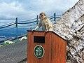 Gibraltar Barbary Macaque 5.jpg