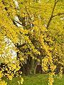 Ginkgo Tree, Cedar Hill Cemetery, Hartford, CT - November 2, 2014.jpg
