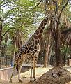 Giraffa camelopardalis 16 08 2012 01.JPG