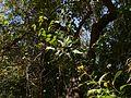 Glycosmis pentaphylla (8283204261).jpg