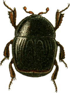 <i>Gnathoncus</i> Genus of beetles