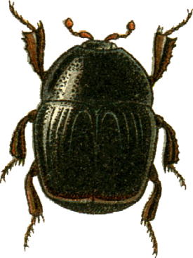 Gnathoncus rotundatus Jacobson.png