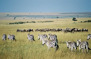 Maasai Mara - A Maasai Mara scene with scattered bushes, animals, cloud shadows, and umbrella acacia trees