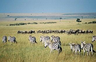Maasai Mara - A Maasai Mara scene with scattered bushes, animals, cloud shadows, and umbrella acacia trees