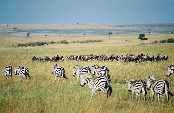 Gnus and zebras in the Maasai Mara park reserv...