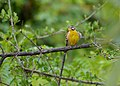Golden-breasted Bunting (Emberiza flaviventris) (11874052403).jpg