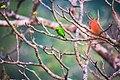 Golden-fronted Leafbird.jpg