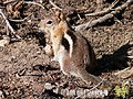 Golden-mantled ground squirrel2.JPG