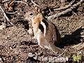 Golden-mantled ground squirrel2.JPG