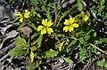 Goodenia cycloptera flowers.jpg