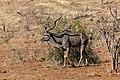 Gran kudú (Tragelaphus strepsiceros), parque nacional de Chobe, Botsuana, 2018-07-28, DD 107.jpg