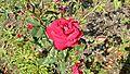 Grandiflora - Gov. Mark Hatfield 8 (cr).JPG