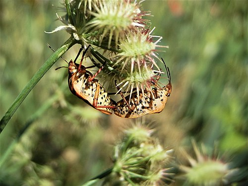 Graphosoma lineatum mating (3).jpg