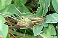 Grasshopper (Rok) (24972350471).jpg