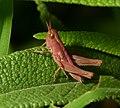 Grasshopper erythrism.jpg