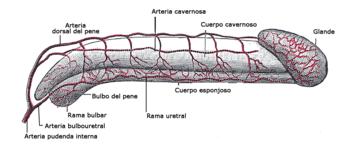 parte superior del pene