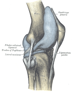 Articular capsule of the knee joint - Capsule of right knee-joint (distended). Lateral aspect.
