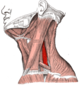 Gray385 - Scalenus medius muscle.png