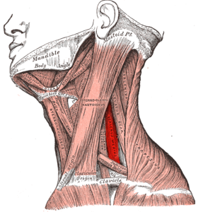 Gray385 - Scalenus medius muscle.png