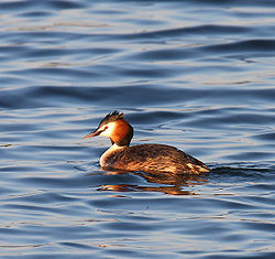 Adult great crested grebe