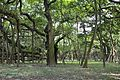 Great Banyan Tree - Indian Botanic Garden - Howrah 2012-09-20 0050.JPG