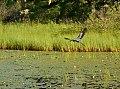 Great Blue Heron (15246201714).jpg
