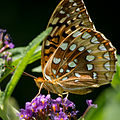 Great Spangled Fritillary-27527-2.jpg