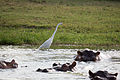 Great egret and hippos - Queen Elizabeth National Park, Uganda (2).jpg