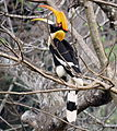 Great pide hornbill.JPG