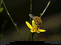 Greater Bee Fly (Bombylidae, Bombylius sp.) (30538051991).jpg