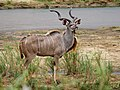 Greater Kudu (30879885688).jpg