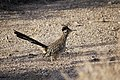 Greater roadrunner (Geococcyx californianus) - 12938113005.jpg