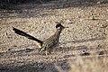 Greater roadrunner (Geococcyx californianus) - 12938113005.jpg