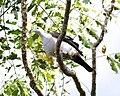 Green Imperial-Pigeon, Ducula aenea - Lip Kee.jpg