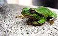 Green frogs - panoramio.jpg