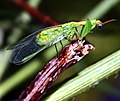 Green mantidfly - Zeugomantispa minuta.jpg