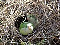 Green parrots at Parque por la Paz Villa Grimaldi - Santiago Chile - Peace Park (5278073000).jpg