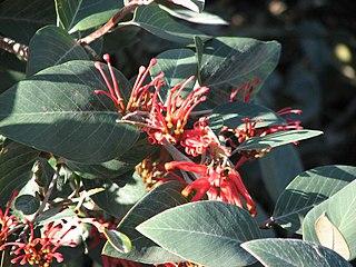 <i>Grevillea burrowa</i> species of plant