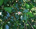 Grewia occidentalis 7.jpg