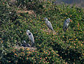 Grey Heron (Ardea cinerea) nesting near Hyderabad W IMG 5004.jpg