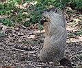 Groundhog (23810720878).jpg