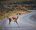 Guanaco - wild llama (40227724251).jpg